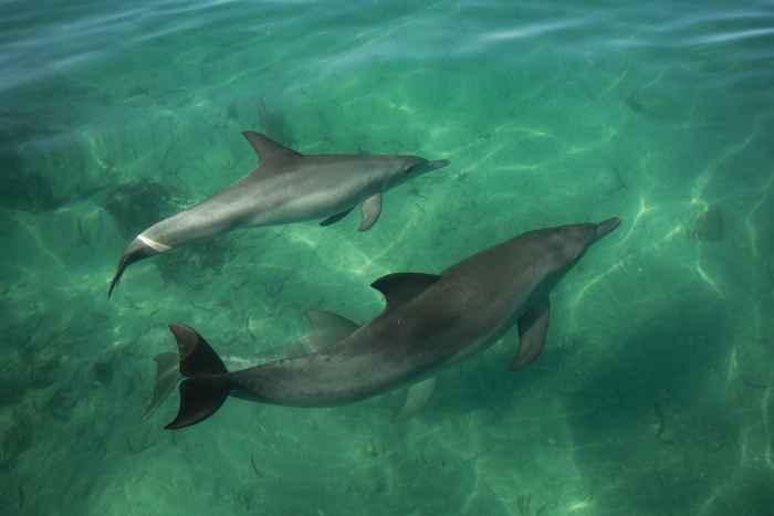 delfines en Shark Bay, Australia
