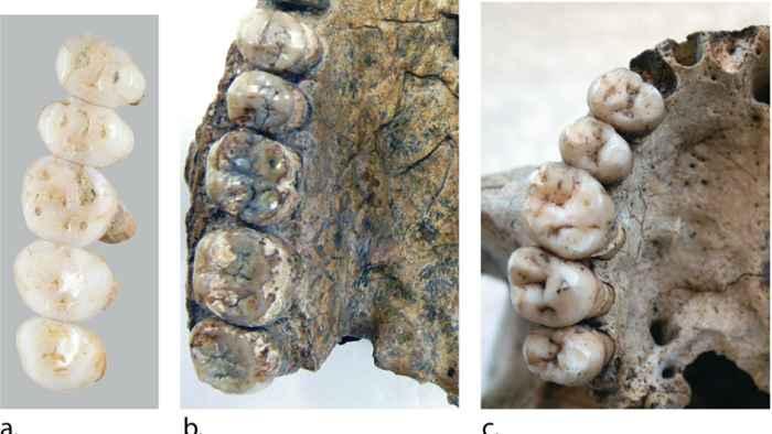 dientes del Homo luzonensis