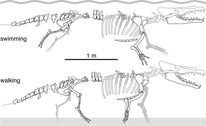 esqueleto de Peregocetus pacificus