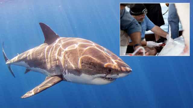 estudio de la sangre del tiburón blanco