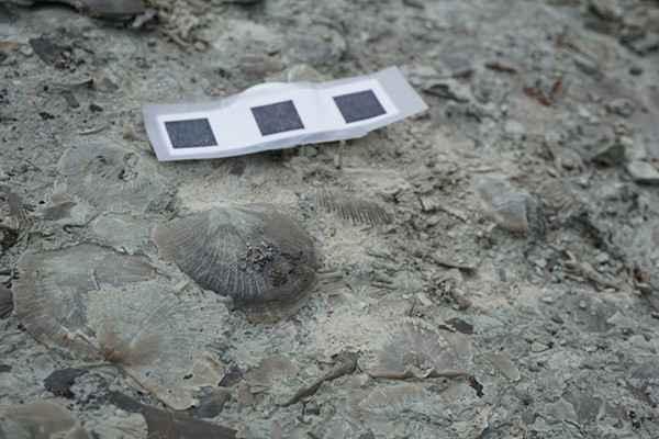 fósil de braquiópodo