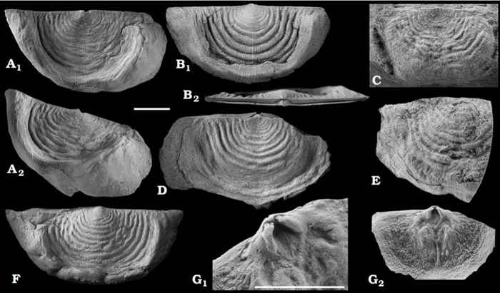 fósiles de braquiópodos