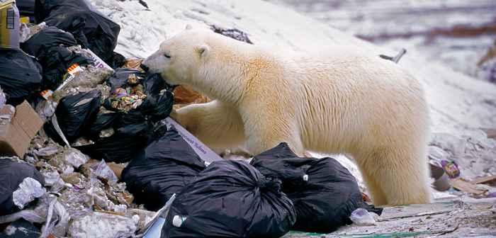 oso polar hurga entre bolsas de plástico