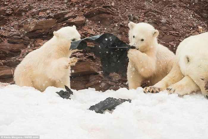 osos polares bebé juegan con bolsas de plástico