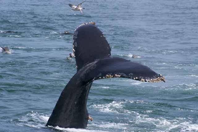 percebes en la cola de una ballena