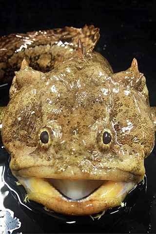 pez sapo del Golfo (Opsanus beta)