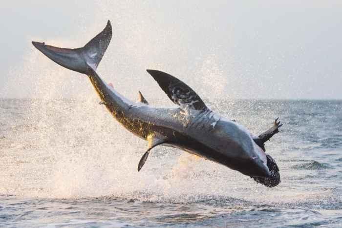 tiburón blanco caza una foca