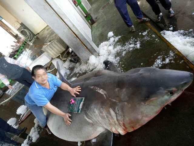 tiburón embarazada, tamaño