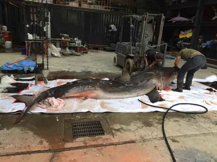 tiburón embarazada capturada en Taiwán