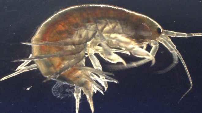 camarón de río  (Gammarus pulex)