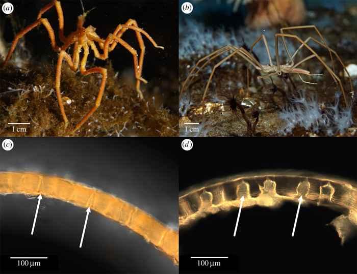cutícula y poros de arañas marinas gigantes