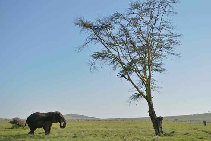 elefante en Kenia