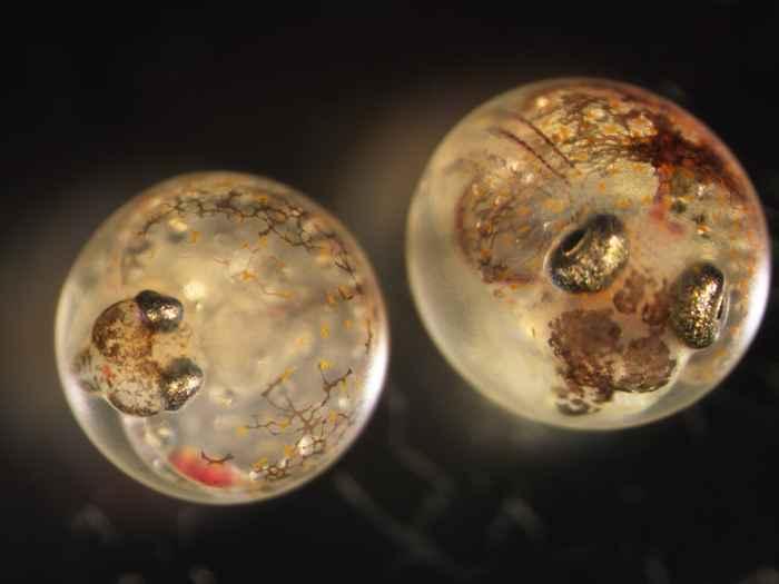 embriones de killifish del Golfo