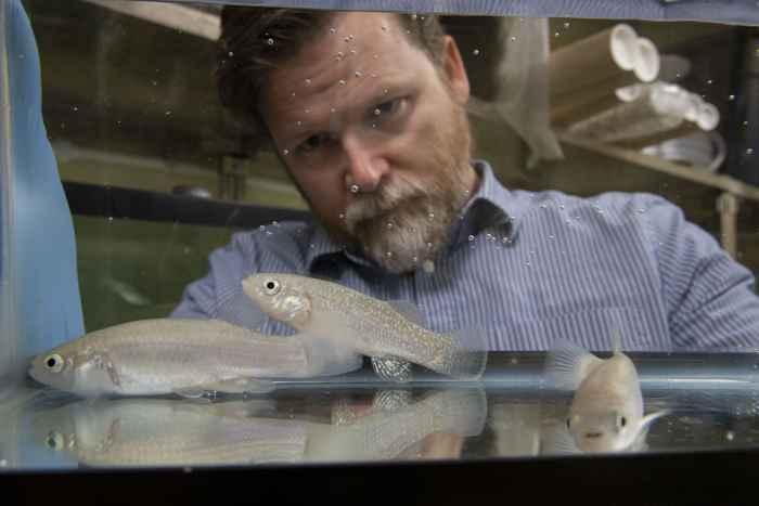 estudio del killifish del Golfo