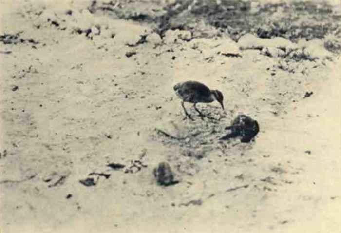 foto antigua del rascón de la isla Wake