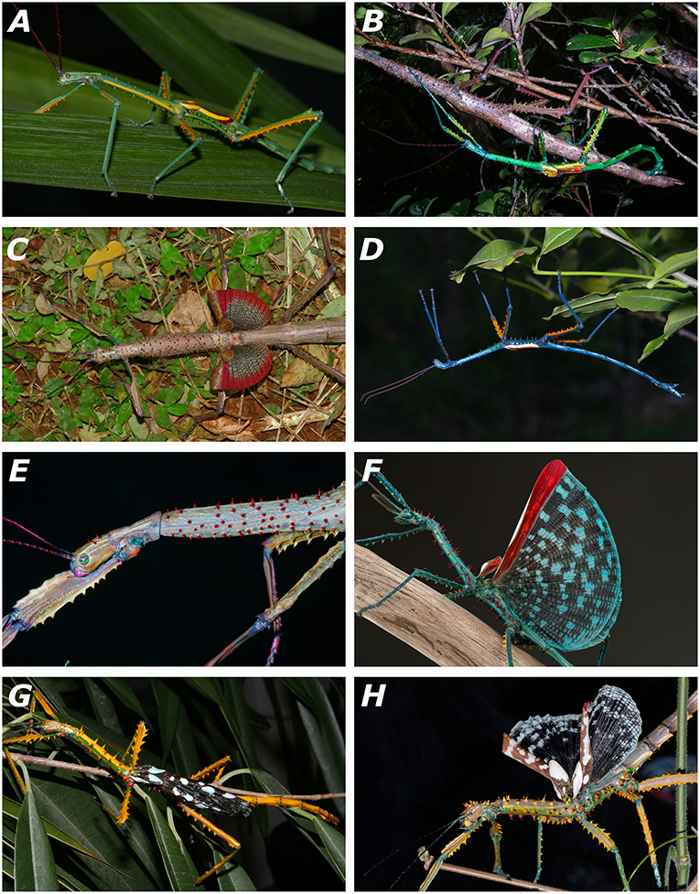 insectos palo gigantes de Madagascar