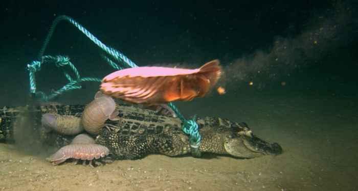 isópodos gigantes devoran a un caimán