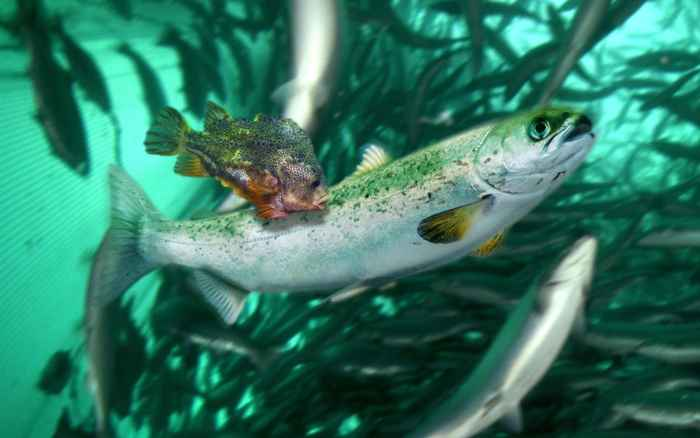 lumpo limpia un salmón