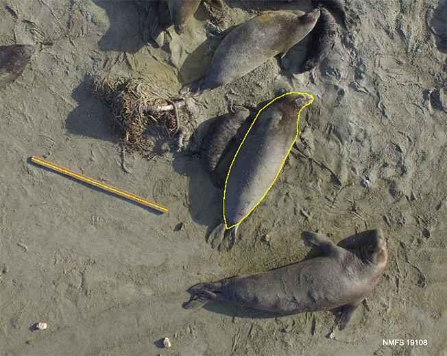 medidas de elefante marino hechas con un dron