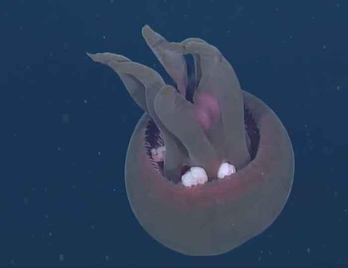 medusa Tiburonia granrojo