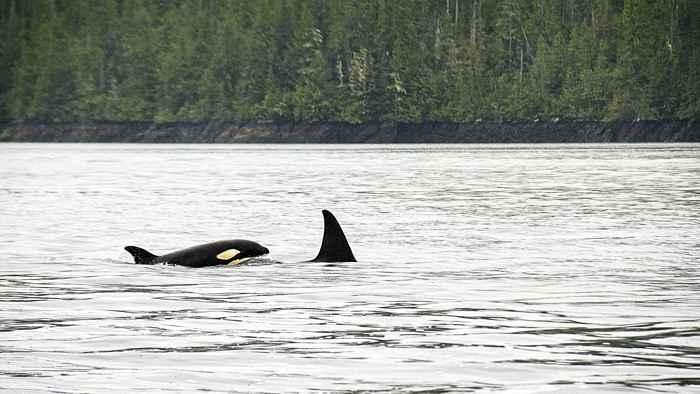 orca y tiburón blanco