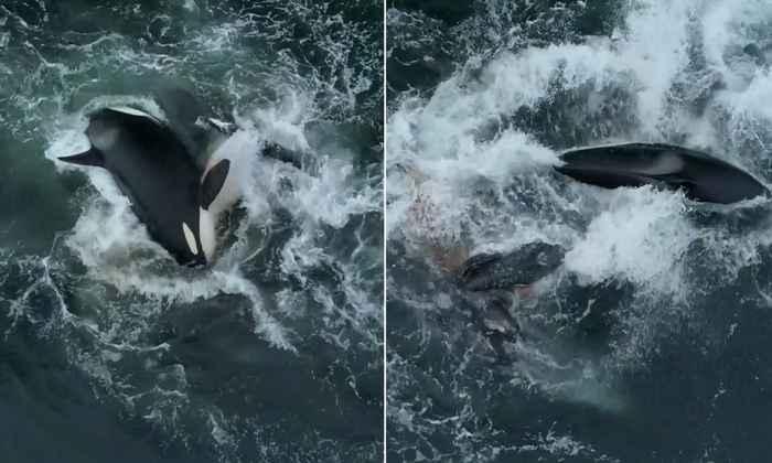orcas atacan a ballena gris