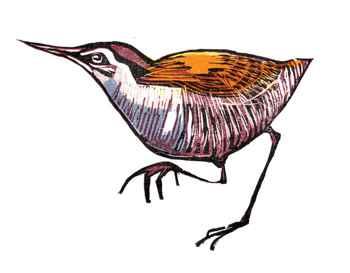rascón de la isla Wake, dibujo