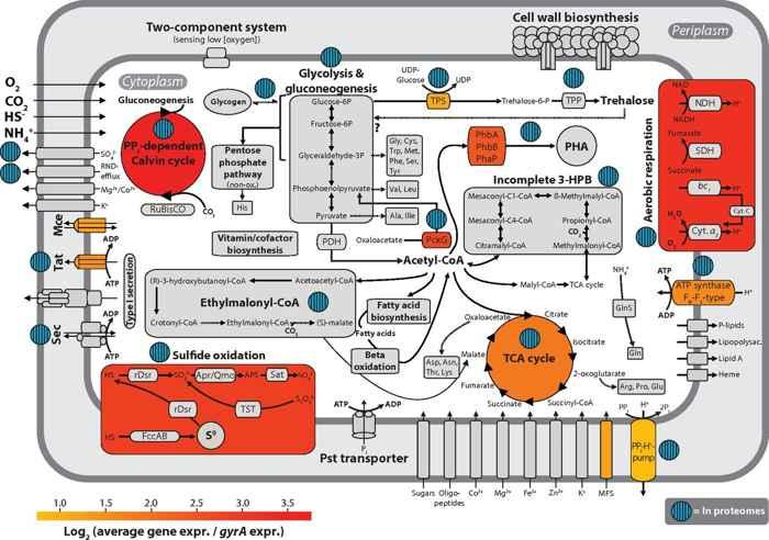 reconstrucción metabólica de la bacteria Riegeria santandreae