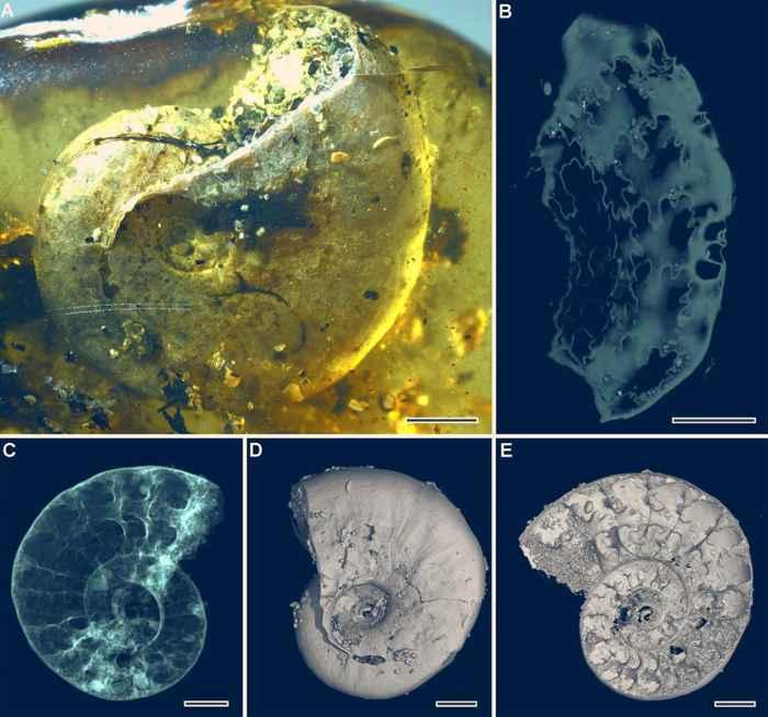 Amonita Puzosia en ámbar