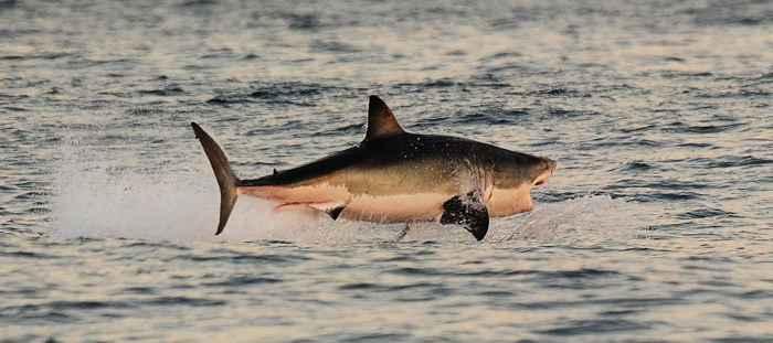 ataque de tiburón tigre