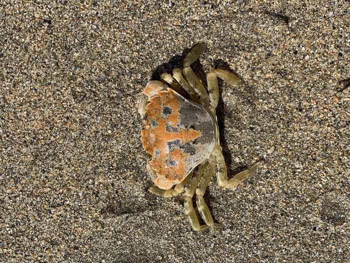 cangrejo costero de roca (Carcinus maenas)