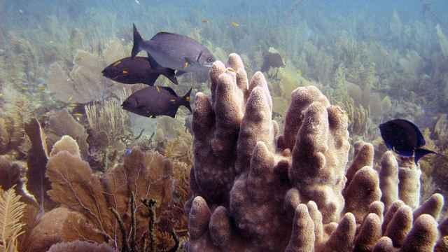 colonia de corales Dendrogyra cylindrus