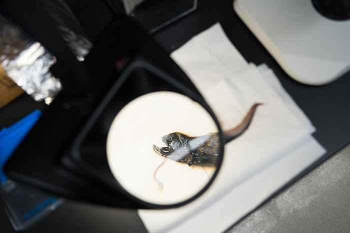 dientes transparentes del pez dragón ampliados