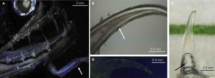detalle de los dientes transparentes del pez dragón