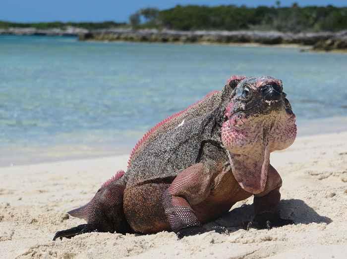 iguana de roca de Allen Cay (Cyclura cychlura inornata)