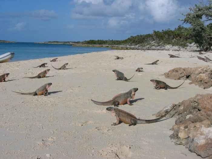 iguanas de roca de los Cayos Allen (Cyclura cychlura inornata)