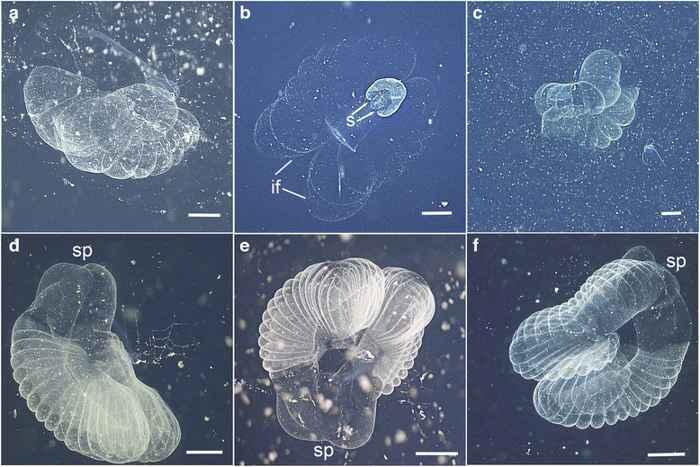 larváceos