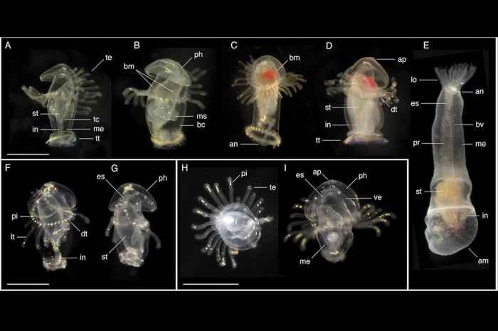 larvas de foronida