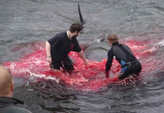 Matanza de ballenas en las Islas Feroe