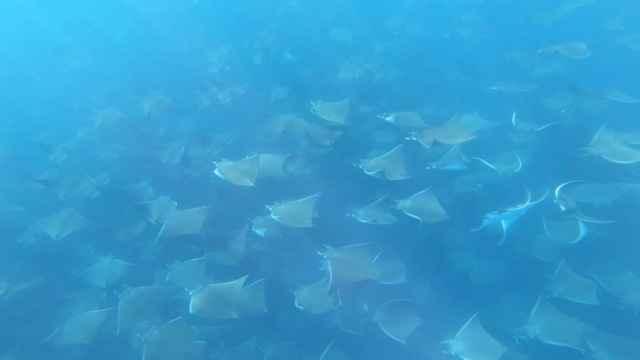 migración de rayas Mobula