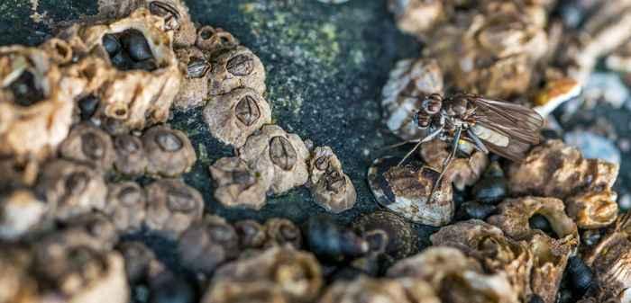 dos moscas de la lapa