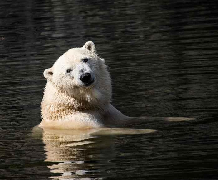 el oso polar es un buen aislante