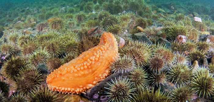 pepino de mar patas de anaranjadas (Cucumaria frondosa)