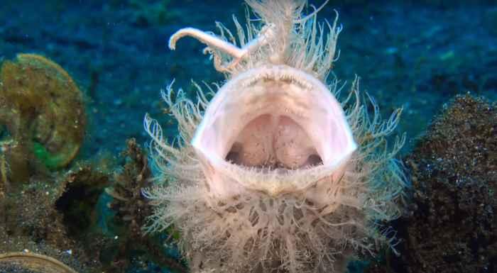 boca del pez sapo peludo