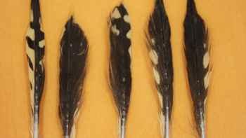 plumas del estómago de tiburones tigre