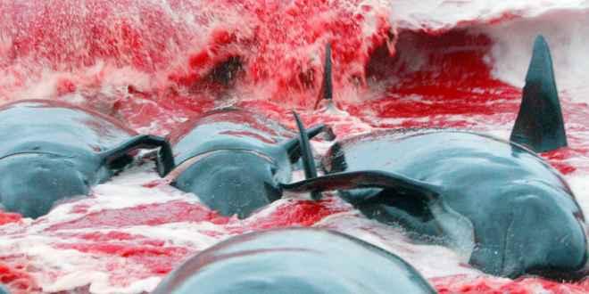 sangre en el mar en las islas Feroe
