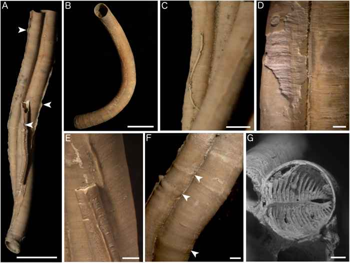 gusanos serpúlidos de Fossil Hill