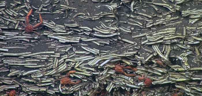 gusanos serpúlidos fosilizados