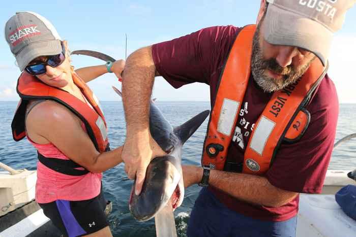 recogida de muestras del estómago de un tiburón tigre