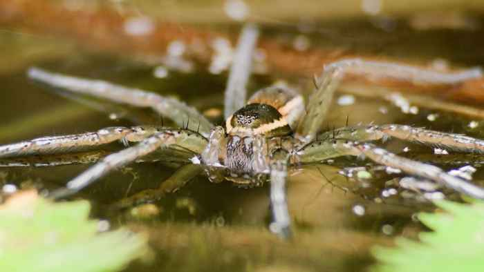 araña de agua Argyroneta Aquatica